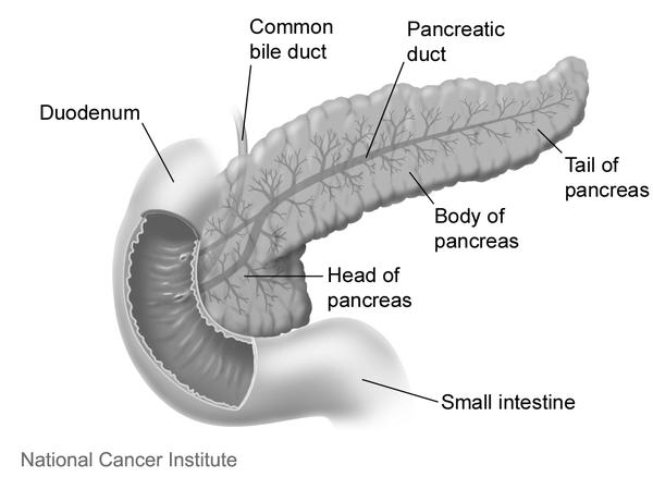 Where is the pancreas located in the body?