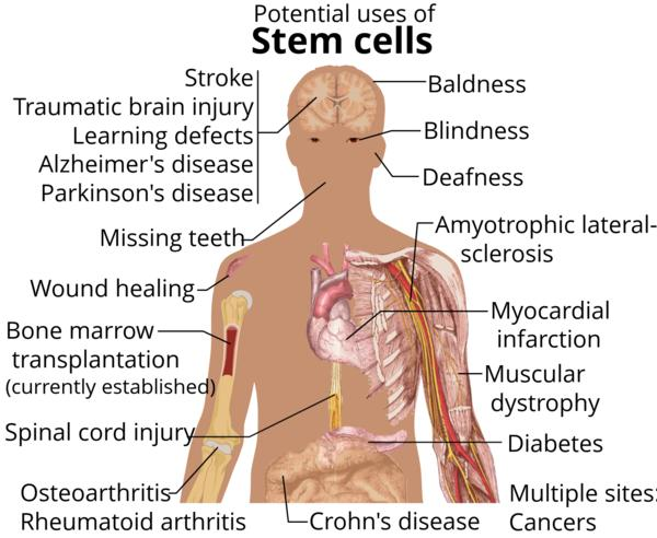 What are human embryonic stem cells used for?