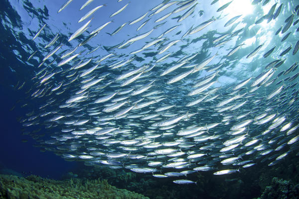 Are there health benefits of herring?
