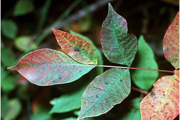 How do I tell the difference between poison oak and poison ivy?