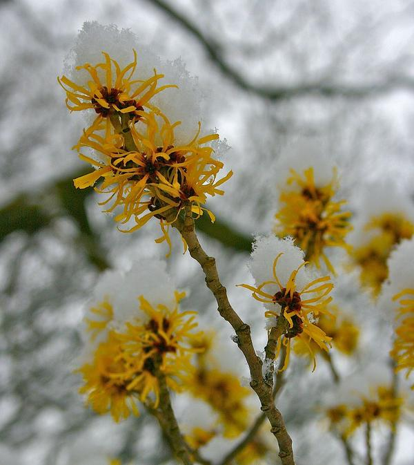 How does witch hazel work on hemorrhoid swelling?