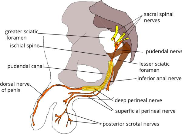 Can pudendal nerves heal if damaged?