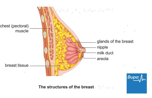 What organs are on the left side under your breast?