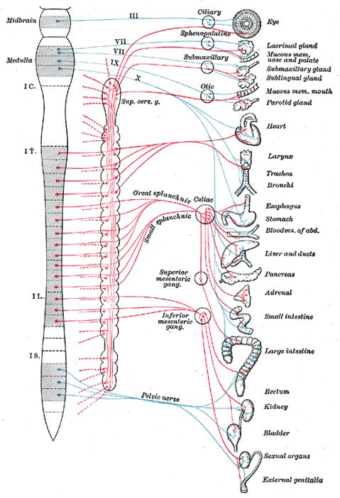 Where is autonomic nervous system located? Is there cranial nerve which regulates dialation/constriction of the blood vessels?