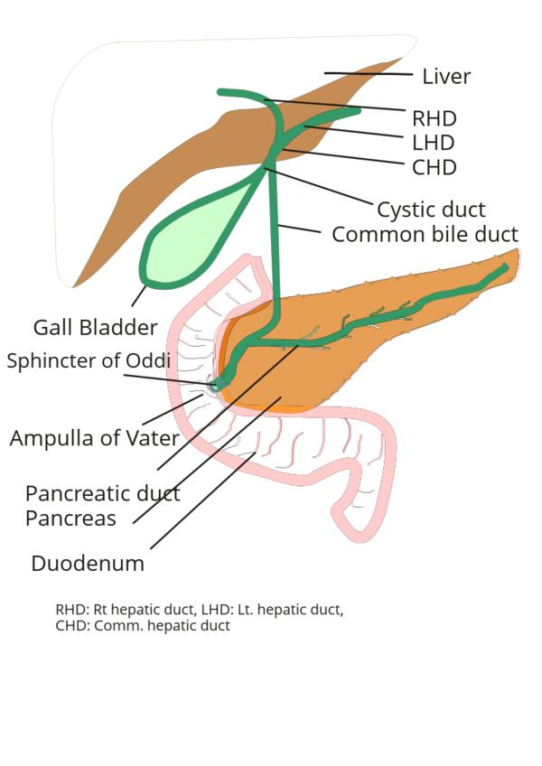 What happens when the distal end of the common bile duct decrease from 7mm to 5mm?