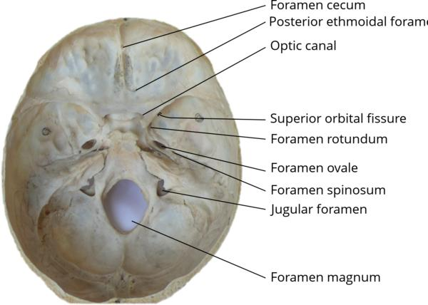 What is the foramen ovale?