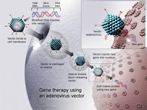 How could viruses be used to cure some genetic diseases?