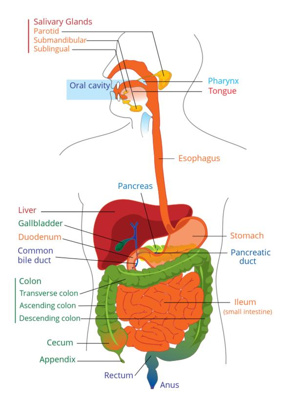 Some non-frightening diseases which happen in the digestive system are?
