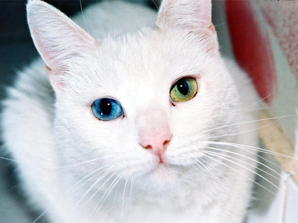 What is heterochromia iridis? Does it have any effect on your health?