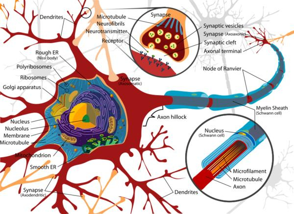 What would a neuro look for if nerve cells or neurons were damaged and dying?