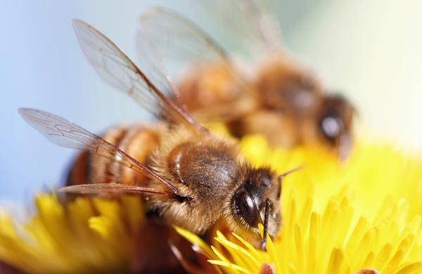 How long will the pain after a bee sting typically last?