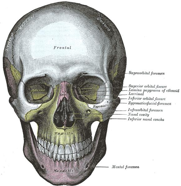Does maxilla and sphenoid bone have suture?