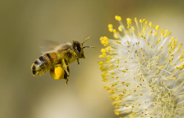 What are the symptoms of bee stings?