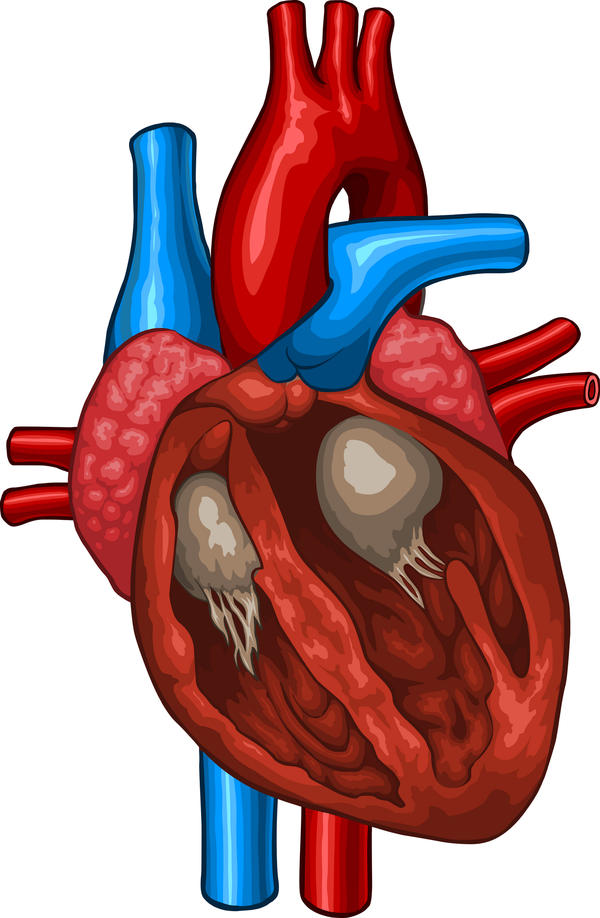 What would damage to the chordae tendinae in the left ventricle result in?