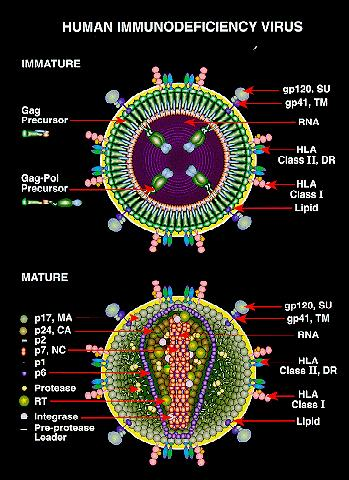 How is the human immunodeficiency virus (hiv) transmitted?