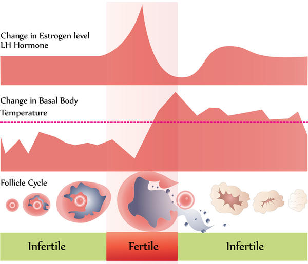 How high is the chance of pregnancy during ovulation compared to other times during the cycle?