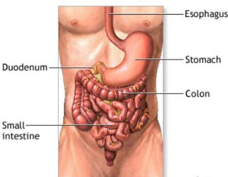 What does terminal ileum and colon mean?