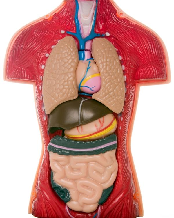 Can some of the organs in the digestive system be transplanted?