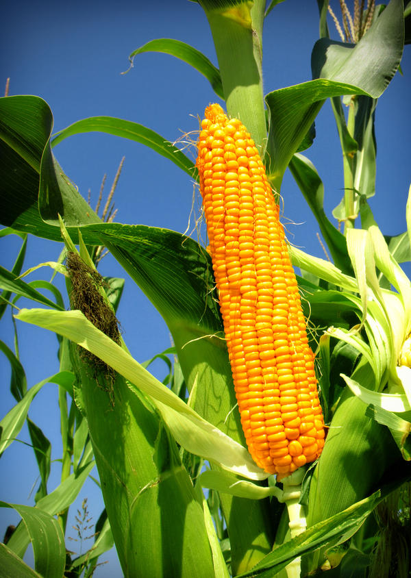 Is eating more maize good for health and mention some normal food items which are not good for health.