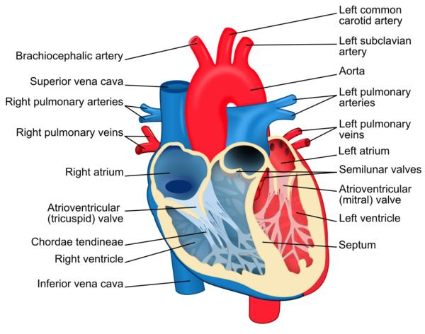 What is the difference in thickness of the walls of the atria and the ventricles and why?