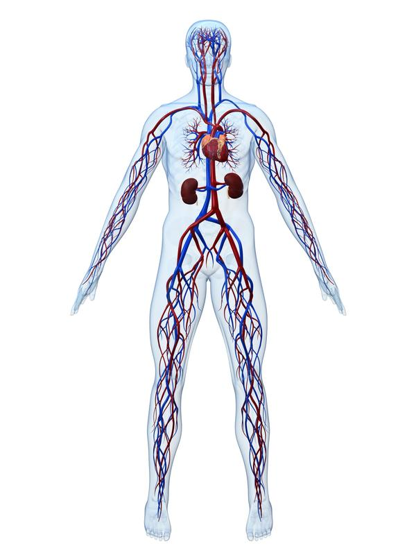 How does the cardiovascular system work with other systems in the body?