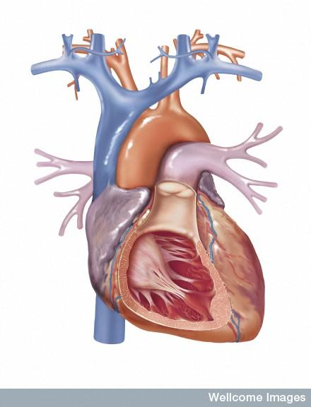 What is the job of the mitral valve?