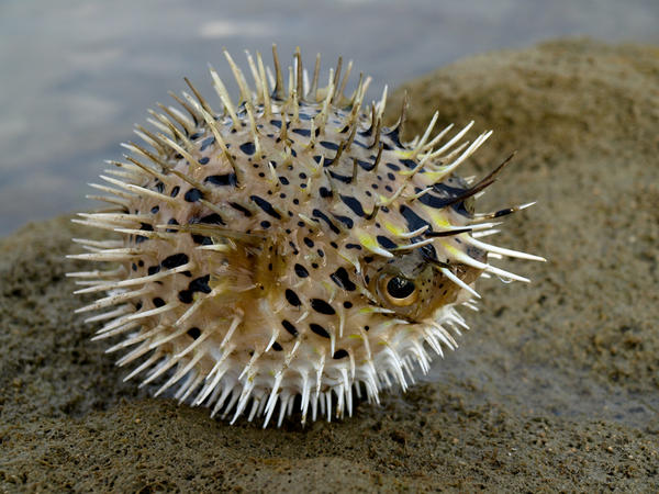 Are blowfish poisonous to eat?