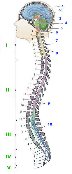 What is the definition or description of: inflammation of the spinal cord?