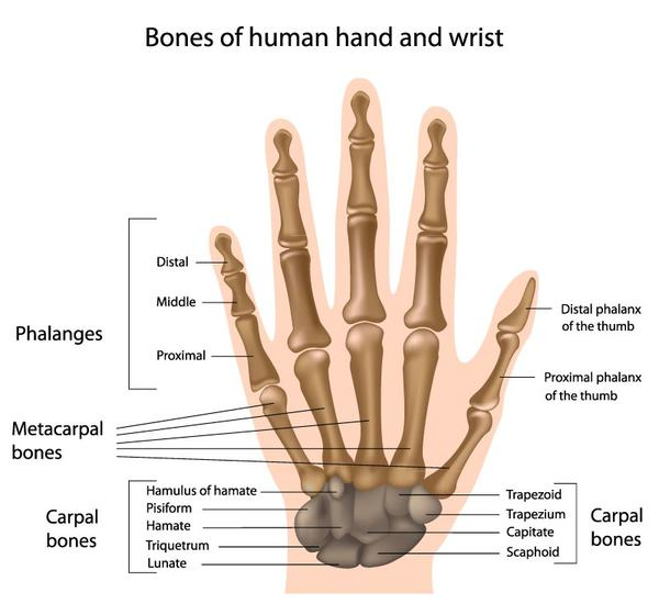 What is the carpal bone called proximal to the ulna from the posterior view? lunate or scaphoid?