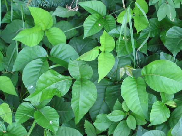 Can poison ivy or sumac grow around trees as shrubs in school yards?