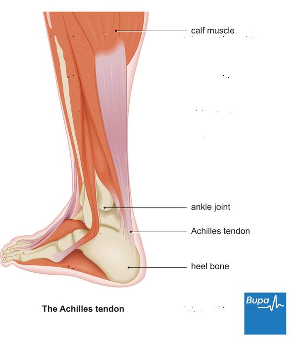 Where is the Achilles tendon located?