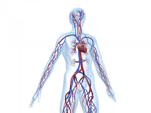 How does the nervous system connect to the cardiovascular system?