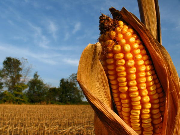 What are the main symptoms of corns that people have?