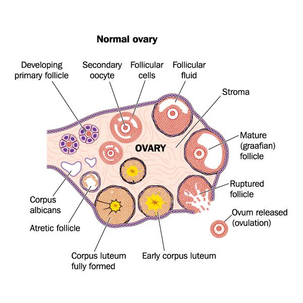 How does retroverted ovary looks like?