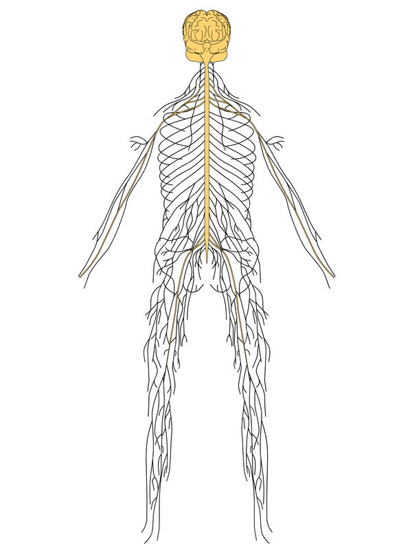 How does the peripheral nervous system connect to the centeral nervous system and vice versa?