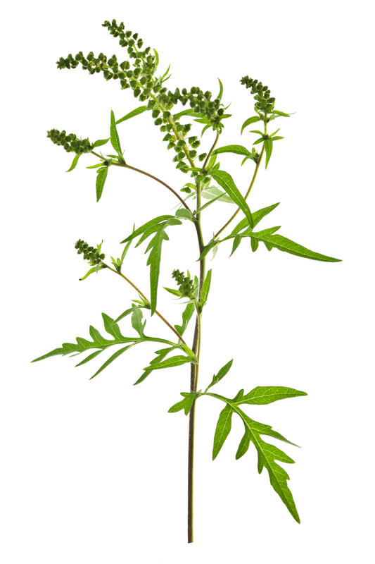 When does the ragweed allergy season start and end in california?