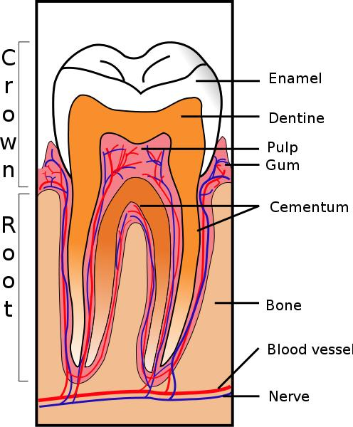 Can a gum graft be done in behind a front tooth?