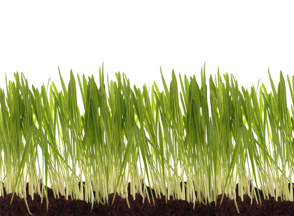 What kinds and parts of grass cause a grass allergy?