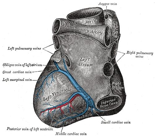 Can an enlarged heart be recognized by a physician using his stethoscope?