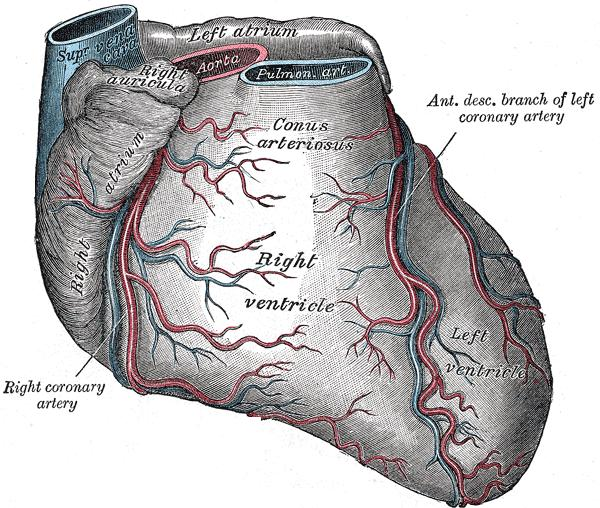 What are some of the major branches of the coronary arteries?