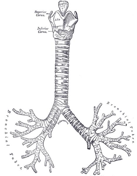 What are the different parts of the trachea?
