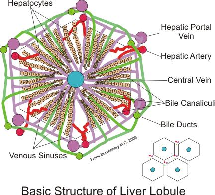 How does the liver produce hdl?